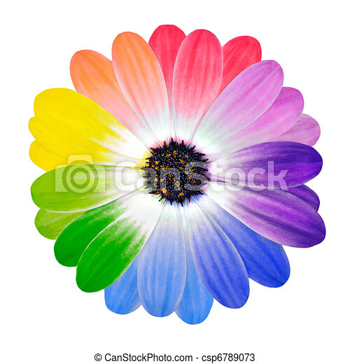 Colorful Petals on Daisy Flower Isolated - csp6789073