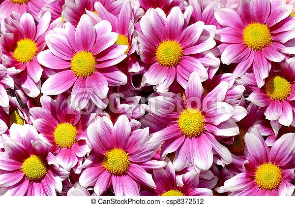 Colorful purple Chrysanthemum flowers background - csp8372512