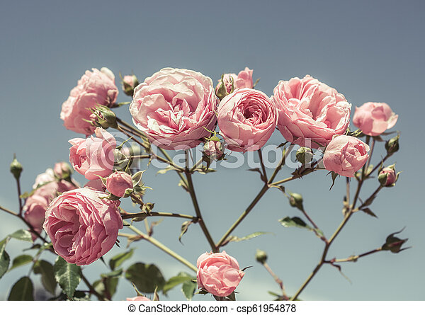 Colorful roses in a rose garden - csp61954878