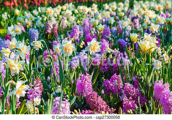 Colorful spring flowers in the Keukenhof park - csp27300058