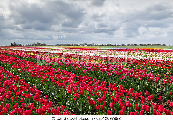 colorful spring tulips fields in Holland - csp12697992