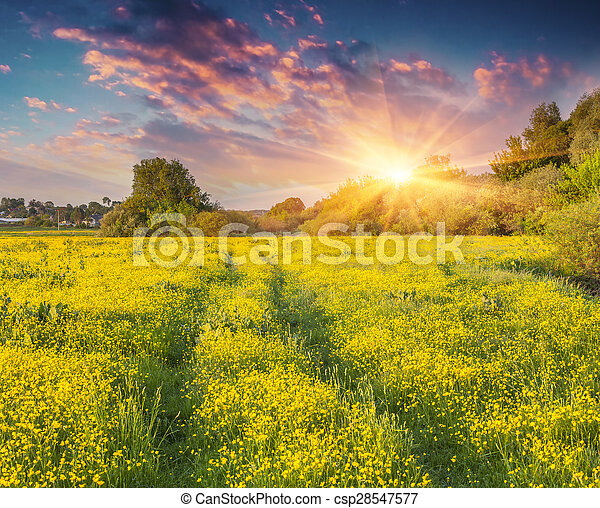 Colorful summer sunrise on the meadow of yellow flowers.  - csp28547577