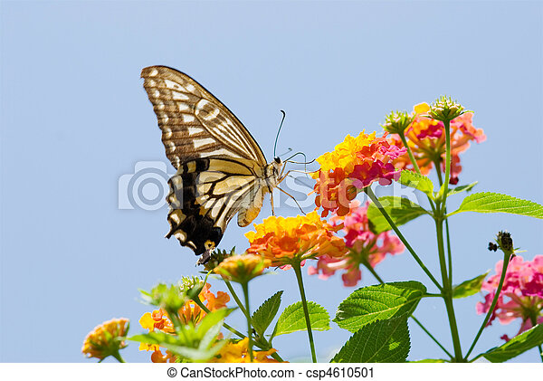 Colorful swallowtail butterfly flying and feeding on flowers - csp4610501