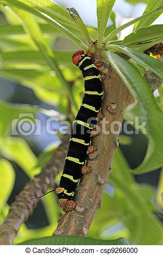 Colorful Tetrio Sphinx Caterpillar  - csp9266000