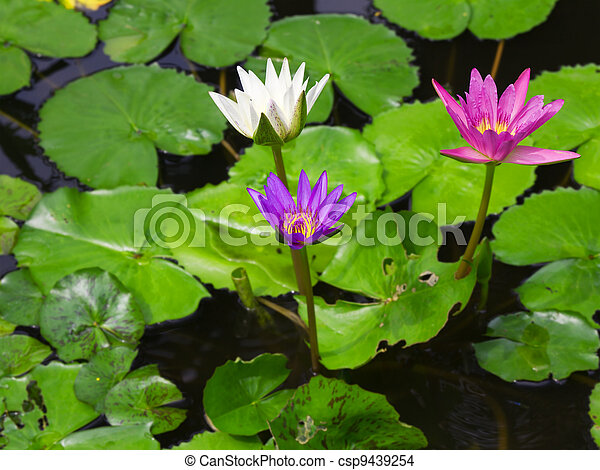 Colorful Three water lily lotus flower and green fresh leaves - csp9439254