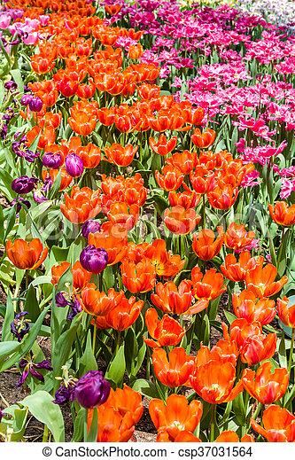 Colorful Tulip Background - csp37031564
