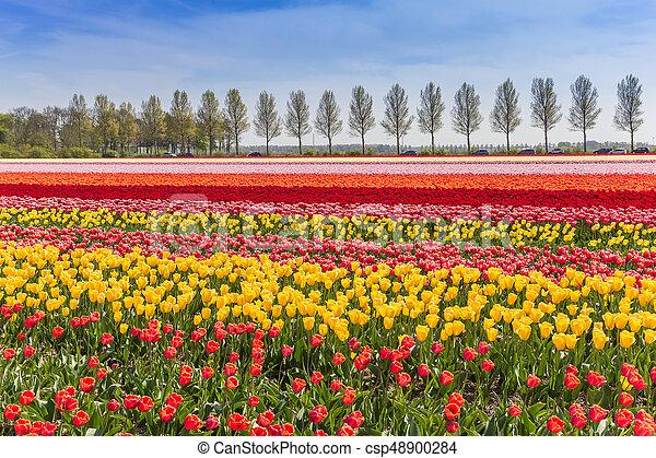 Colorful tulips field in Noordoostpolder - csp48900284