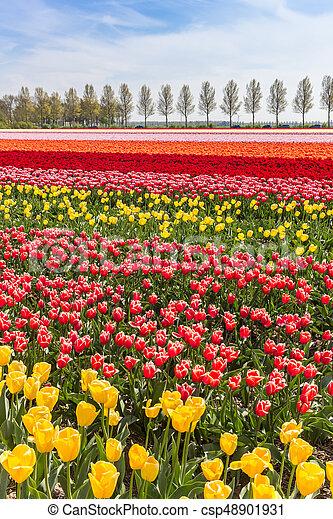 Colorful tulips field in Noordoostpolder - csp48901931