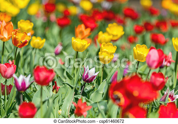 Colorful Tulips Flowers Blooming in a Park close up. - csp61460672