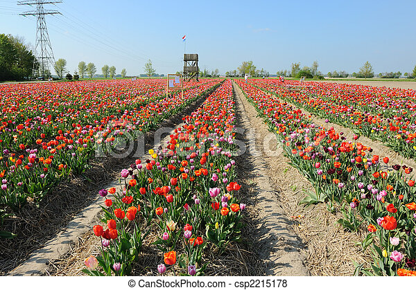 colorful tulips in Holland - csp2215178
