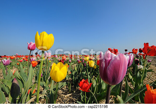 colorful tulips in Holland - csp2215198