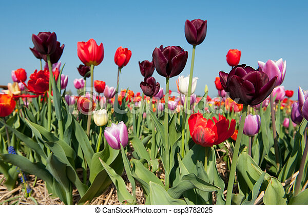 Colorful tulips in Holland - csp3782025