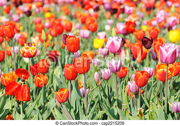 colorful tulips in Holland - csp2215209