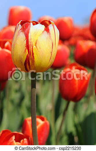 colorful tulips in Holland - csp2215230