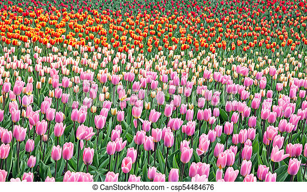 Colorful tulips in the garden. Kekenhof - Netherlands - csp54484676