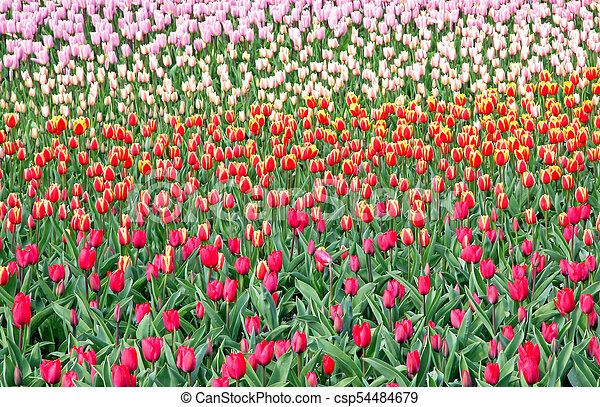 Colorful tulips in the garden - csp54484679