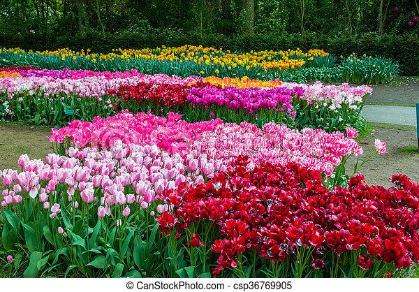 Colorful tulips, Keukenhof Park, Lisse in Holland - csp36769905
