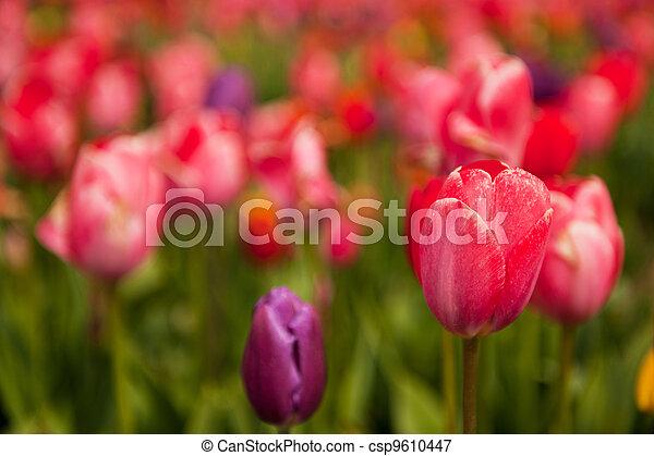Colorful tulips - csp9610447