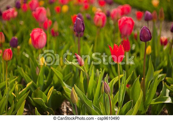 Colorful tulips - csp9610490