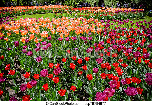 coloured tulips. Pink, white and red flower tulip illuminated by sunlight. Soft selective focus, close up tulip, toning. Floral background of brightly coloured tulips. Spring garden. - csp79784977