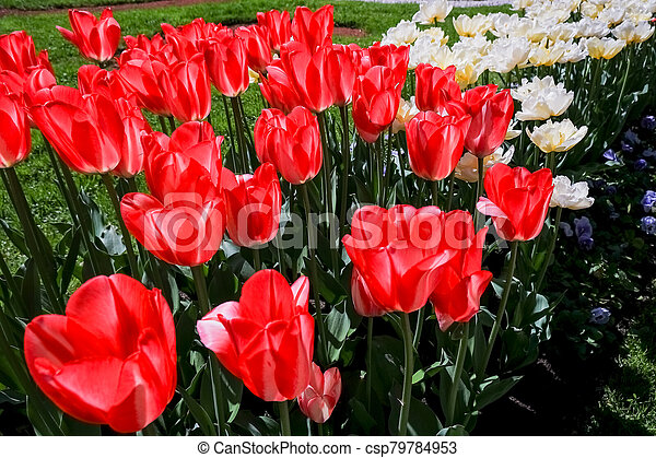 coloured tulips. Pink, white and red flower tulip illuminated by sunlight. Soft selective focus, close up tulip, toning. Floral background of brightly coloured tulips. Spring garden. - csp79784953