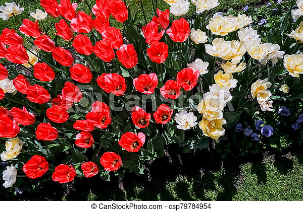 coloured tulips. Pink, white and red flower tulip illuminated by sunlight. Soft selective focus, close up tulip, toning. Floral background of brightly coloured tulips. Spring garden. - csp79784954