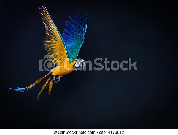 Colourful flying Ara on a dark background - csp14173012