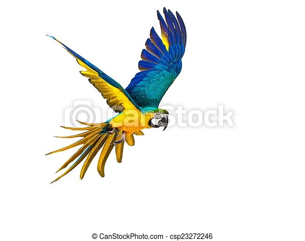 Colourful flying parrot isolated on white  - csp23272246