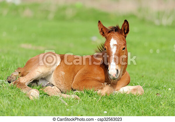 Colt on a meadow - csp32563023