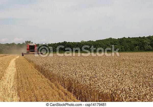 Combinando trigo - csp14179481