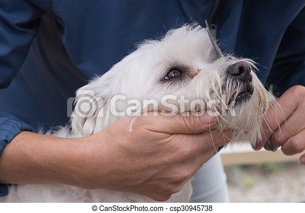 Combing hairof white Maltese dog - csp30945738