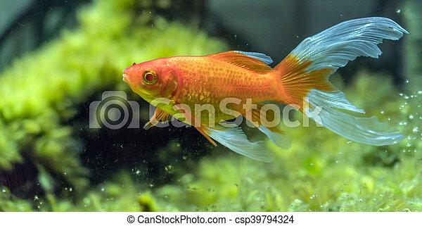 comet-tailed goldfish (Carassius auratus) in aquarium - csp39794324