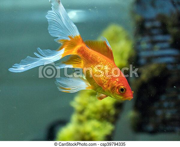 comet-tailed goldfish (Carassius auratus) in aquarium - csp39794335