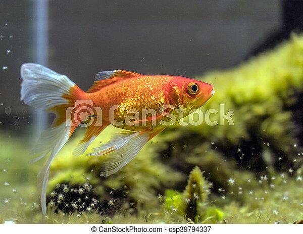 comet-tailed goldfish (Carassius auratus) in aquarium - csp39794337