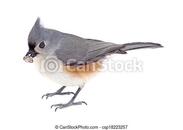 Tufted titmouse comiendo una semilla - csp18223257