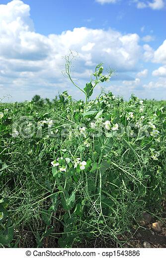 Commercial Pea crop - csp1543886