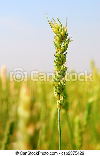 Commercial Spring Wheat Crop - csp2375429