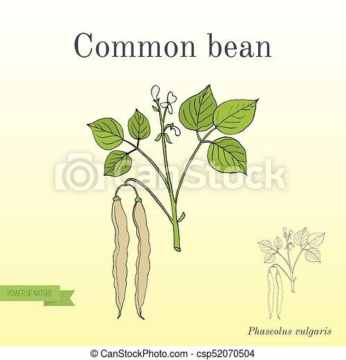 Common bean Phaseolus vulgaris - csp52070504