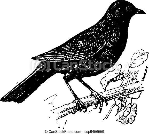 Common Blackbird or Turdus merula, vintage engraving - csp9456559