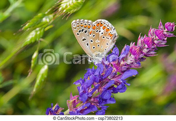 Common Blue butterfly sitting on a wild sage at summer season in Ukraine - csp73802213