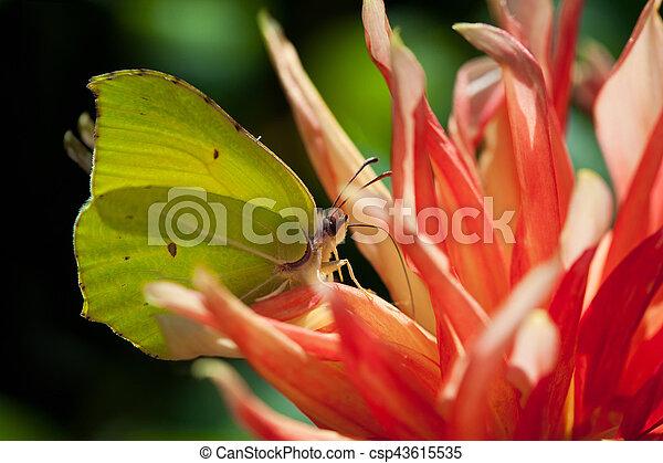 Common brimstone butterfly (Gonepteryx rhamni) - csp43615535