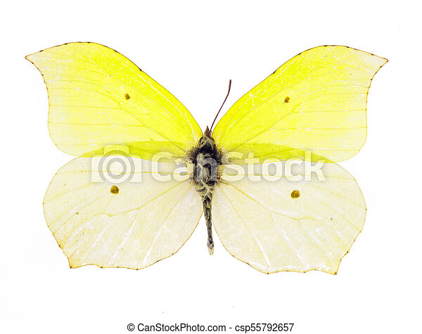 Common brimstone butterfly - csp55792657