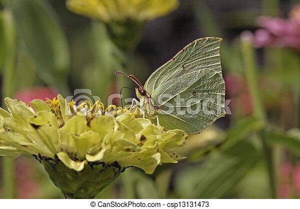 Common Brimstone, Gonepteryx rhamni - csp13131473