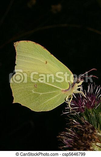 Common Brimstone (Gonepteryx rhamni) - csp5646799