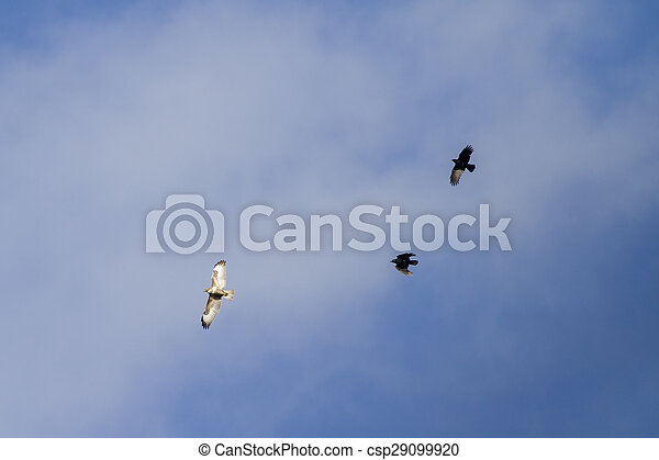 common buzzard being chased - csp29099920