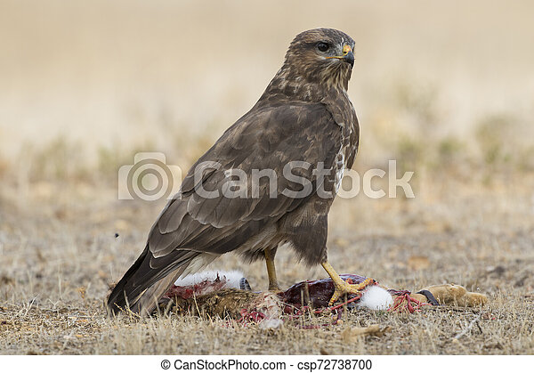 Common buzzard (Buteo buteo), eating from a rabbit on the ground - csp72738700