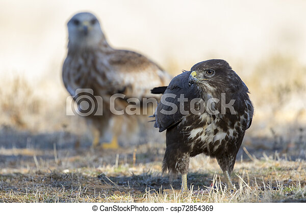 Common buzzard, (Buteo buteo), feeding on the ground and a red kite in the background. Spain - csp72854369