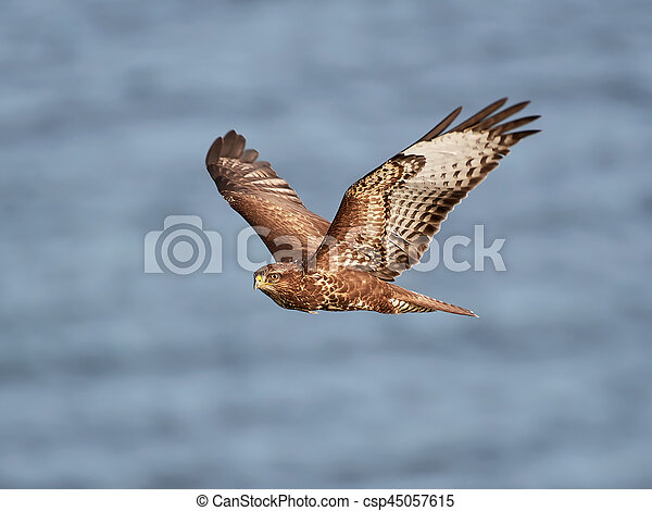 Common buzzard (Buteo buteo) - csp45057615