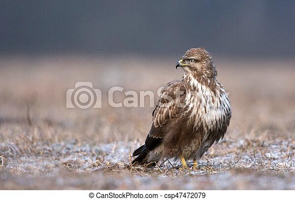 Common buzzard (Buteo buteo) - csp47472079