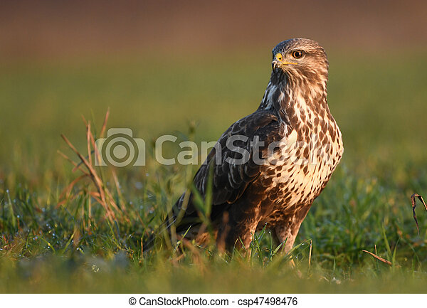Common buzzard (Buteo buteo) - csp47498476